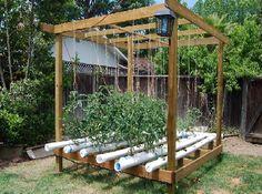 cultivo hidropnico de tomates