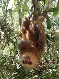 #ManuToursPeru #ManuPark #sloth #ManuTrip Sloths are arboreal mammals noted for slowness of movement and for spending most of their lives hanging upside down in the trees of the tropical rainforests of South America ( Manu National Park - Peru) and Central America.