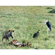 In the photograph shown above, different scavengers are seen competing for dead zebra flesh.