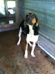 Sam is an adoptable Hound Dog in Chipley, FL. Sam is a male, Hound mix, he is around 2-3 years old and is a big boy weighing around 50-55 lbs very sweet and playful...