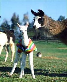 Baby Llama with a sweater, yeah that would be my llama (if I had one;))