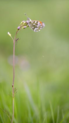 Aurorafalter / The orange tip/ Anthocharis cardamines © Bernd Flicker | Google+