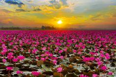 Thailand-lotus-lake