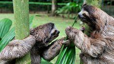 Sloths   #costarica