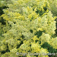 Solidago Little Lemon. Have. Alamosa garden est. 2012.