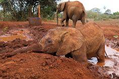 Muddy marvel: Enkesha enjoys a wallow in the mud