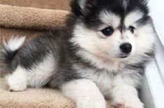 35 Cute Photos Proving Dogs Are Furry Human Copies - Page 4 of 12 - SooPush Cute Puppy Pictures, Dog Pictures, Kittens Cutest, Cute Cats, Siberian Husky Dog, Owning A Cat, Cute Creatures, Pet Store, Little Dogs