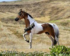 Pretty bay pinto miniature horse stallion