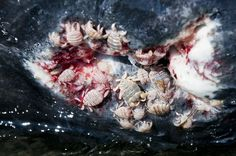 whale_community_parasite | by Drumm Photography