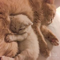 Super cute and fluffly! so adorable #cute #fluffly #animals #pets #cuddly #furry #adorable #aww