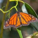 Butterfly by Carla C