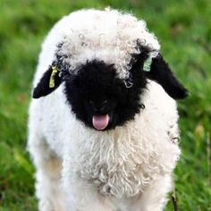 """mia 🧃 on Twitter: """"i am obsessed… """" Baby Sheep, Cute Sheep, Baby Squirrel, Sheep And Lamb, Sheep Dogs, Super Cute Animals, Cute Baby Animals, Farm Animals, Fluffy Cows"""