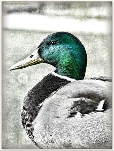 Mallard Duck - null