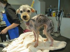 Humane organization calls Barkley the worst case of abuse ever seen. Trio Animal Foundation in Chicago, Illinois