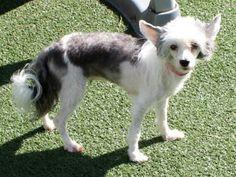 Adopt Maggie, a lovely 4 years  5 months Dog available for adoption at Petango.com.  Maggie is a Chinese Crested and is available at the Big Dog Ranch Rescue in WELLINGTON, FL