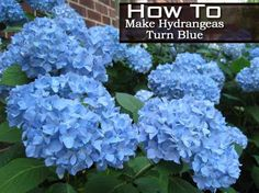 The color blue, it's a color many homeowners want to have in their landscape. One plant we see in the garden to bring on the color blue comes from the plant Hydrangea. What makes makes hydrangea turn blue or any shade of pink? The primary contributor is soil pH. For details on pH and Blue …