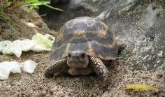 Madagascar has many species found only there. Amongst the many amazing creatures are several tortoise species that unfortunately are critically endangered. See: http://www.pawmanefin.com/Saving_Madagascars_Critically_Endangered_Tortoises