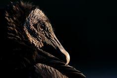 Urubu noir (Coragyps atratus) Noir c'est noir Alex N