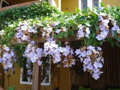 drought tolerant plants for pots Hanging Baskets, Hanging Plants, Cerca Natural, Cherry Plant, Bloom Where You Are Planted, Drought Tolerant Plants, Balcony Garden, Blue Flowers, Planting Flowers