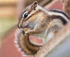 Chipmunk   Endless Wildlife