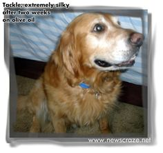 Olive Oil Dry Skin Remedy for Dogs