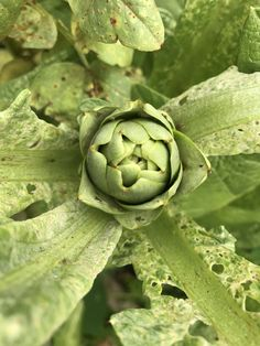 Artichoke, Vegetables, Photos, Food, Artichokes, Pictures, Essen, Vegetable Recipes, Meals