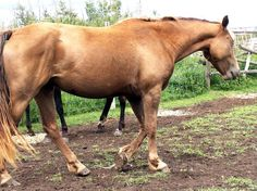 possibly a new dilution on chestnut (negative for all known dilutions) - Morgan Horse mare TL Champagne Sensation