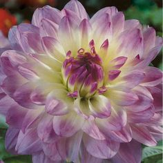 Great prices on your favourite Gardening brands, and free delivery on eligible orders. Herbaceous Perennials, Dahlia Flower, Zinnias, Chrysanthemum, Shrubs, Peonies, Planting Flowers, Beautiful Flowers, Flora