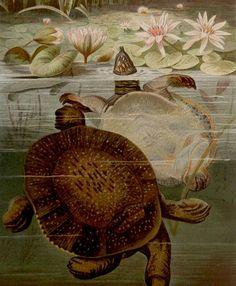 Antique print.1884.Fauna.SOFTSHELLS