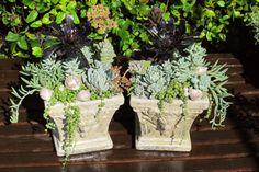 Succulents with seashells. LaurasLittleGardens.com