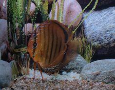 bild6 Discus Aquarium, Discus Fish, Freshwater Aquarium, Fresh Water, Pisces, Aquariums, Riding Habit