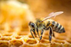 Le api da miele fanno parte dell'ordine degli imenotteri che comprende i bombi, le api solitarie, le vespe, le tentredini e le formiche.