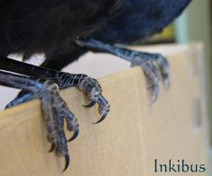 Crow raven bird feet by InKi-Stock.deviantart.com on @deviantART #reference
