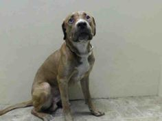TO BE DESTROYED - 06/20/14 Brooklyn Center  My name is KING. My Animal ID # is A1002130. I am a male brown and white pit bull mix. The shelter thinks I am about 2 YEARS   I came in the shelter as a STRAY on 06/04/2014 from NY 10303, owner surrender reason stated was STRAY. https://www.facebook.com/photo.php?fbid=815890265090521set=a.611290788883804.1073741851.152876678058553type=3theater