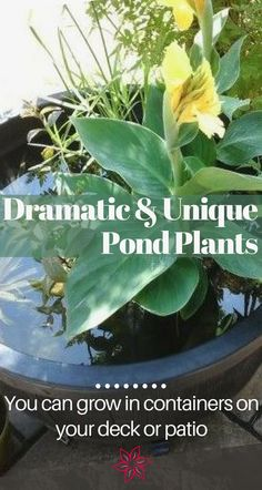 Water Garden Plants - Container Water Gardens - Welcome to our gallery of the very best aquatic plants for container water gardens and small ponds. Included are descriptions, growth habits & requirements. Small Water Gardens, Water Garden Plants, Pond Plants, Aquatic Plants, Water Plants For Ponds, Plants Indoor, Patio Pond, Pond Landscaping, Ponds Backyard