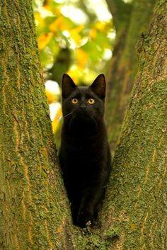 Бомбейская кошка (фото): домашняя пантера в миниатюре  Смотри больше http://kot-pes.com/bombejskaya-koshka-foto-domashnyaya-pantera-v-miniatyure/