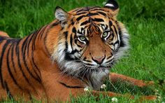tigersareforever:Tigers by batterjob32 on Flickr. by alltiger