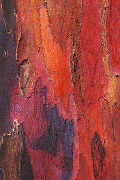 Rainbow Eucalyptus Wood | Rainbow eucalyptus bark
