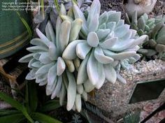 "Graptoveria Opalina - slow growing rossette 6""- 8"", winter bloom, sun to part sun., put in noontime shade-HOT sun fried it! low water."