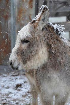 Mini Donkey who likes snow