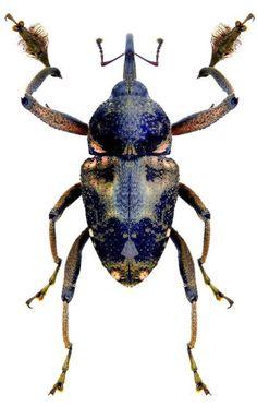 Macromerus gibbicollis