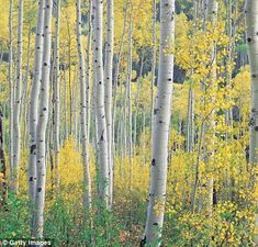 Eye-catching: Silver birches in all their glory in Colorado