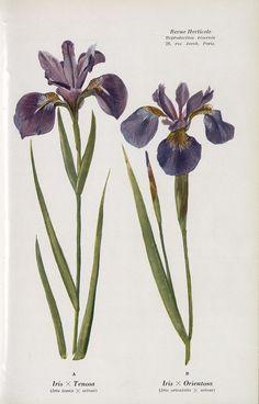 SNHF   [Iris]