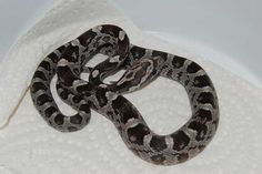 Anery, 66% het Bloodred, Dilute, Motley, Amel & 50% het Charcoal Cool Snakes, Charcoal, Cool Stuff
