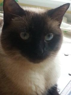 absolutely love a Siamese Cat. So very loyal to their person.