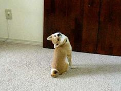 This shiba inu puppy who's basically an owl. | The 23 Most Adorable Puppies Of 2013