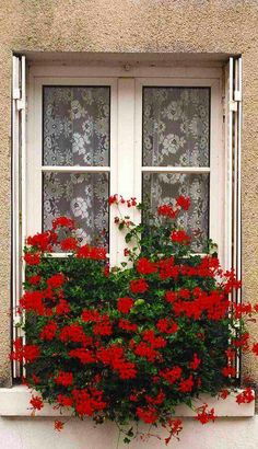 Geraniums~~my favorite!