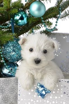 PetsLady's Pick: Sweet Blue Christmas Puppy Of The Day Westie Puppies, Westies, Cute Puppies, Cute Dogs, Dogs And Puppies, Doggies, Schnauzer Dogs, Rottweiler Puppies, Miniature Schnauzer