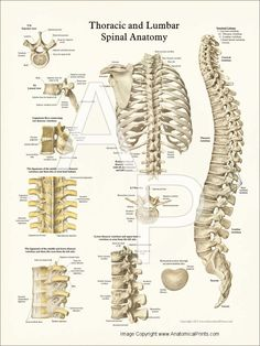 Thoracic+Spine+Anatomy | Thoracic Spine Anatomy Poster