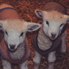 I love my lambs, and I'm so excited to aid in the preservation of these wonderful sheep. Lancaster Pennsylvania, Cute Sheep, Sheep And Lamb, Counting Sheep, Goat Farming, Baby Goats, Little Critter, Friesian, Corgis